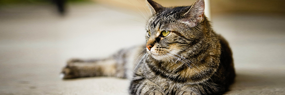 banner-cat