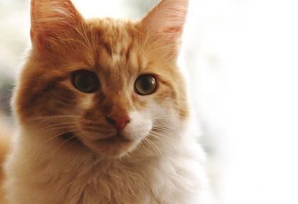 domestic-cat-breed